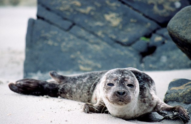 SNH reminder: how to enjoy watching the Ythan seals without disturbing them: Seals-103