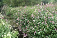 Himalayan balsam dominating riverbank vegetation