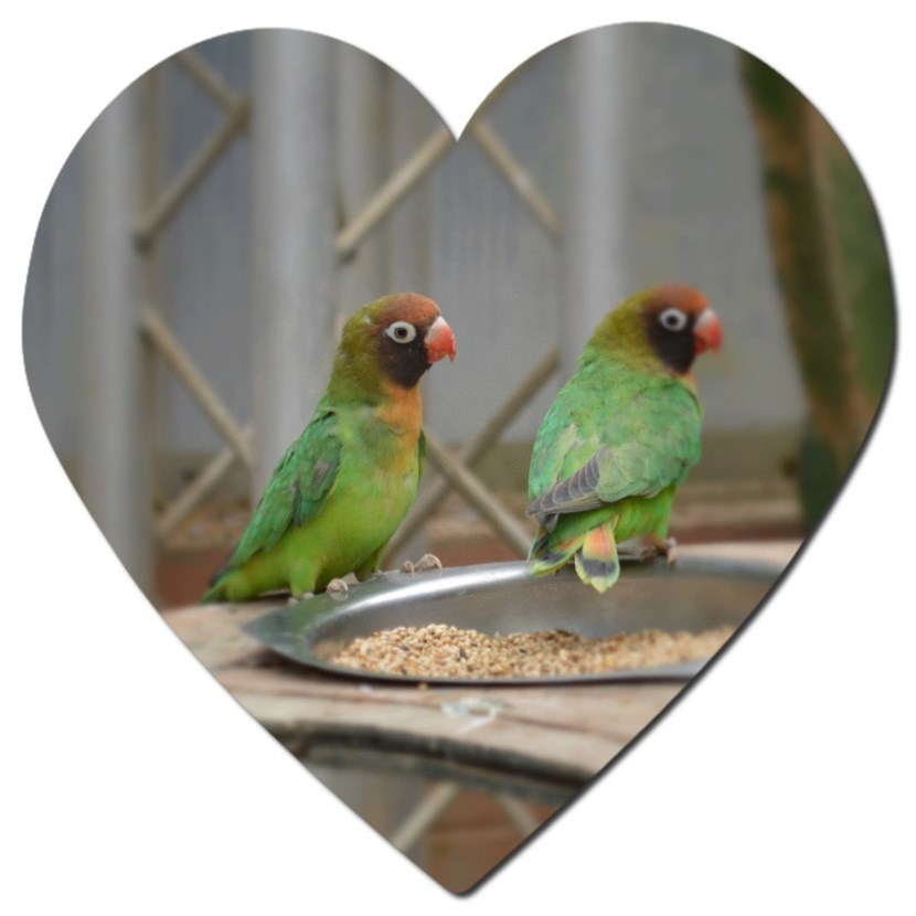 Love is in air as new guests arrive just in time for Valentine's Day at Tropical World: lovebirds-feb16.jpg