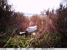 Male harrier at nest