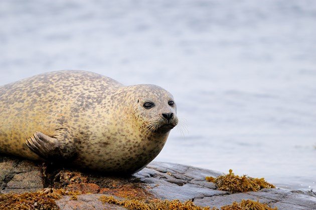 Harbour seal resting on rocks at low tide ©Lorne Gill-NatureScot