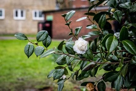 A close-up shot of the camellia bush at Highbury Quadrant