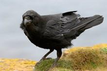 Raven-D0044