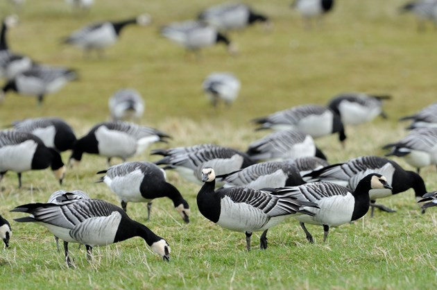 Barnacle geese at Caerlaverock National Nature Reserve. ©Lorne Gill-NatureScot