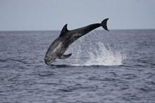 Risso's dolphin leaping ©Nicola Hodgins/WDC