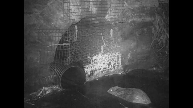 Network Rail builds Scotland's first 'Beaver tunnel' under the Highland mainline: Beavers still image 3