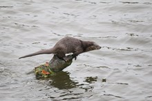 NE Mammal Atlas - Otter sprainting on log at Bridge of Don photo by Andy Coventry