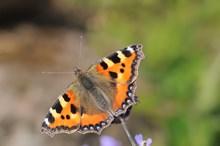 Small tortoiseshell butterfly ©Lorne Gill