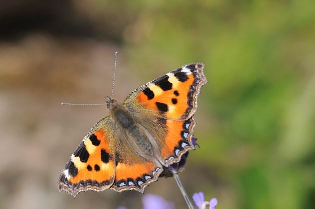 Small tortoiseshell butterfly ©Lorne Gill/NatureScot