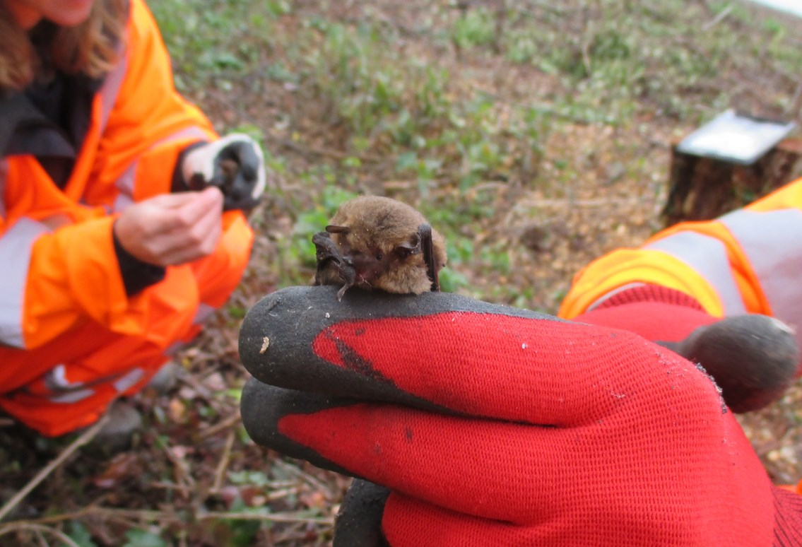 Bats about Levenmouth Rail link: Pipistrelle bats. Just one of the species which we hope will use the bat boxes that hve been installed along the Leven line -2