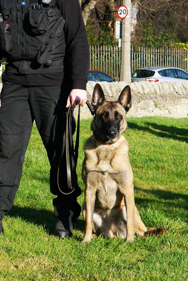 Police Dog 'Draak': Police Scotland general use dog PD 'Draak' - a four year old Belgian Malinois. Image taken with handler (anonymous) at Fettes Police Station, Edinburgh