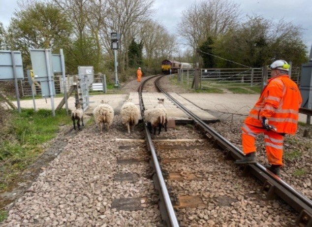 Sheep put themselves in shear danger taking a short-cut on busy Cambridgeshire rail line: Queen Adelaide LX sheep