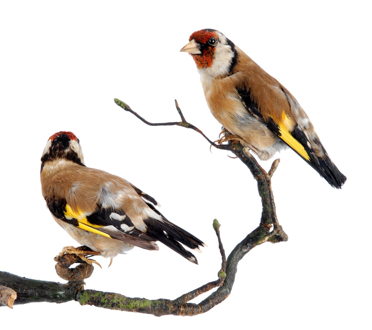 Birdwatching project: A goldfinch from the Leeds Museums and Galleries collection which is being used to help home birdwatchers identify birds in their gardens.