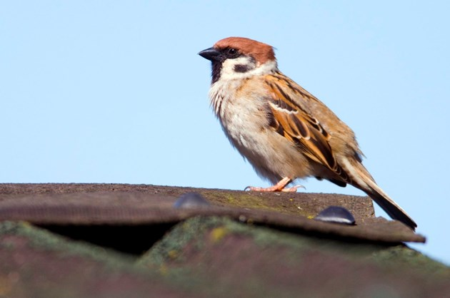 Public urged to avoid birds' nests during gardening and building work: sparrow-d0008