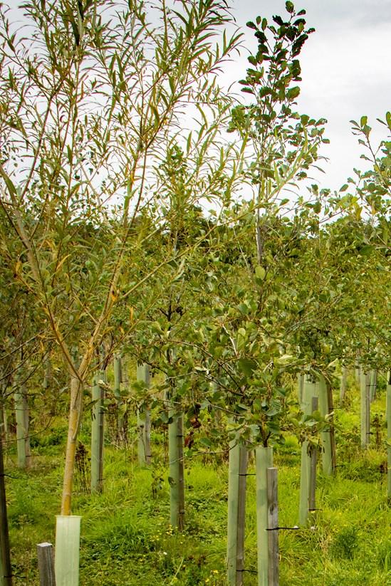 Established tree growth, Tile House Lane in Buckinghamshire: Credit: HS2 Ltd