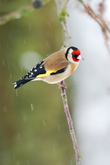 goldfinch-d0015