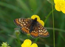 Stage One application - Images - BCS - Marsh Fritillary - Jim Asher - 7Barrows 12Jun2005 3530 (A3102000)