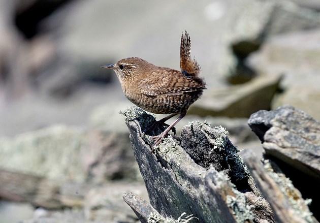 Woodland bird recovery: Wren ©Lorne Gill/NatureScot
