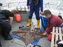 Common or flapper skate being measured (Jane Dodd/SNH)