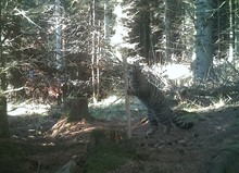 Trail camera picture -WildcatStrathbogie 1