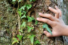 Child's hand next to ivy on tree trunk: Child's hand next to ivy on tree trunk