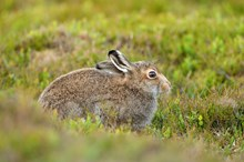 Mountain hare  in its summer coat. Credit Lorne Gill-NatureScot