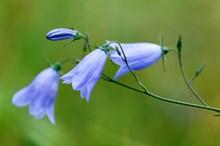 Harebell (Scots bluebell) ©Lorne Gill/SNH