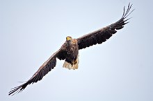 White-tailed eagle in flight ©Lorne Gill/NatureScot: Copyright Lorne Gill/SNH. Free use.