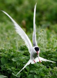 Arctic tern -D16020