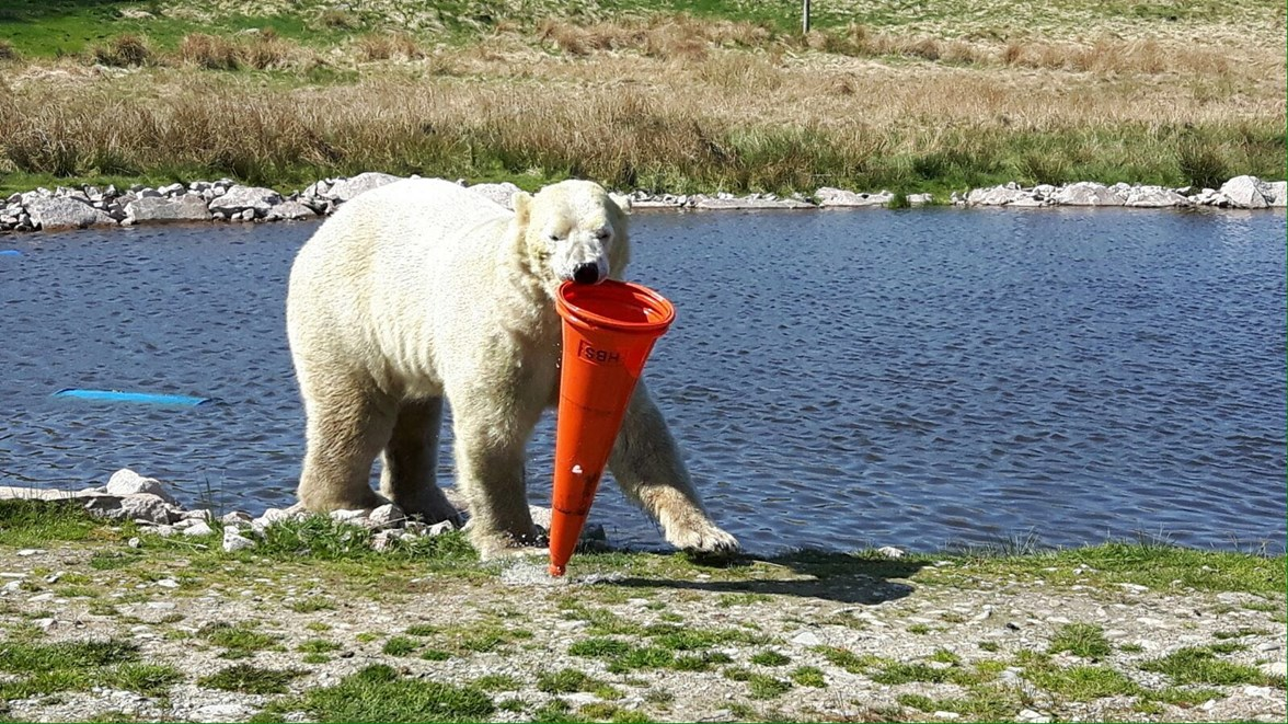 A9 Dualling - wildlife park - Walker the bear plays with traffic cone