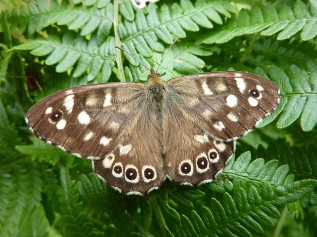 NE Scotland reaches 1.5 m wildlife records: Speckled Wood - Stuart Graham - W Argyll