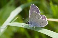 Stage One application - Images - BCS - Small Blue - Peter Eeles (A3102004)