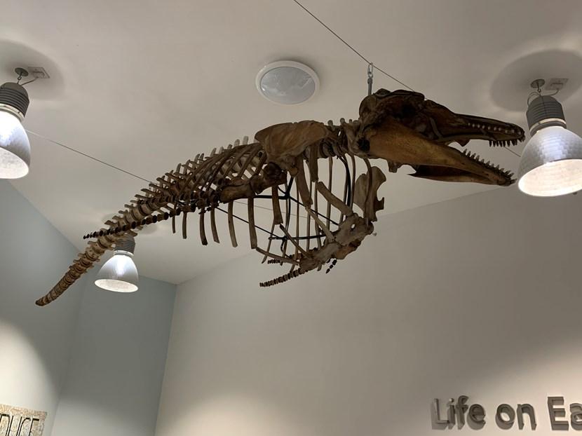 Object of the week- Long-finned pilot whale skeleton: img-3502-837752.jpg