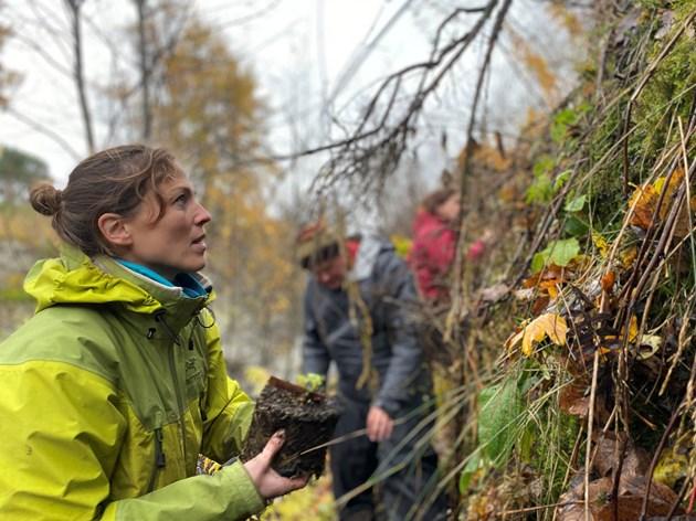 RBGE Conservation Scientist Dr Aline Finger planting alpine blue-sowthistle at Braemar © Nye Hughes