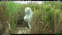Male harrier guarding nest