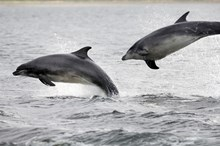 Dolphins in the Moray Firth: Please credit Lorne Gill/Scottish Natural Heritage