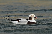 Long-tailed duck ©John Dickenson