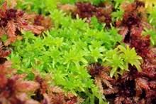 Sphagnum Moss, Flanders Moss NNR ©Lorne Gill-NatureScot