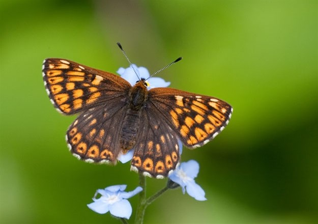 Oxford to London Marylebone rail link guards wildlife habitats and protected species: Duke of Burgundy (upperwing)