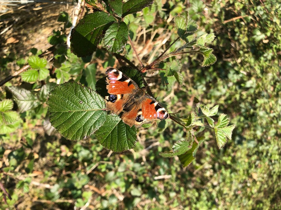 Ecological emergency declared in the Cotswolds: butterfly