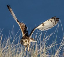 Short-eared owl about to dive on prey - copyright Ron Macdonald