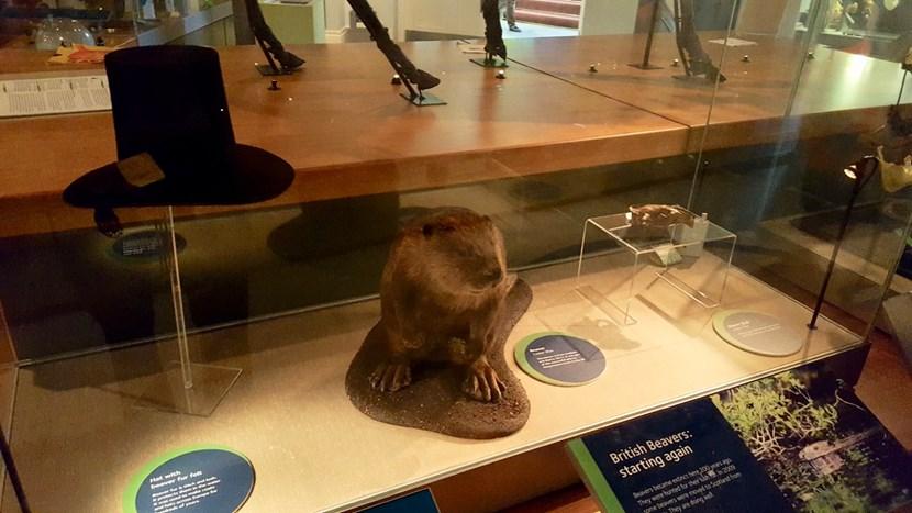 Object of the week- Eurasian beaver: img-3986.jpg