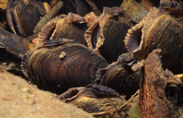 New population of critically endangered mussels discovered: Freshwater Pearl Mussels ©Sue Scott SNH
