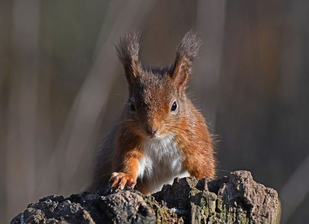 Red Squirrel ©Steve Buckland
