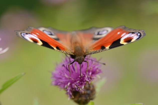 Falkirk biodiversity projects share £317k Nature fund cash: Peacock-  ©Lorne Gill