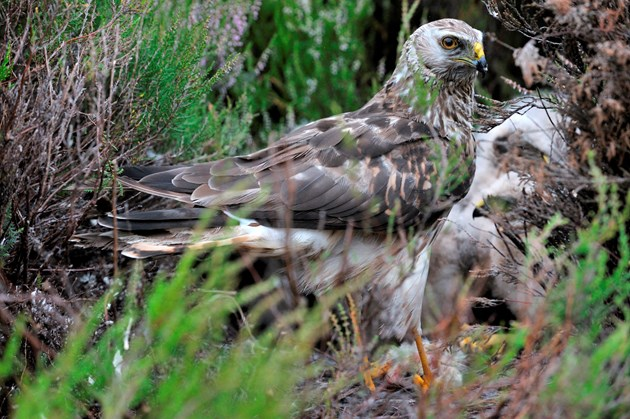 Public asked for sightings of rare hen harriers: Langholm-D7648