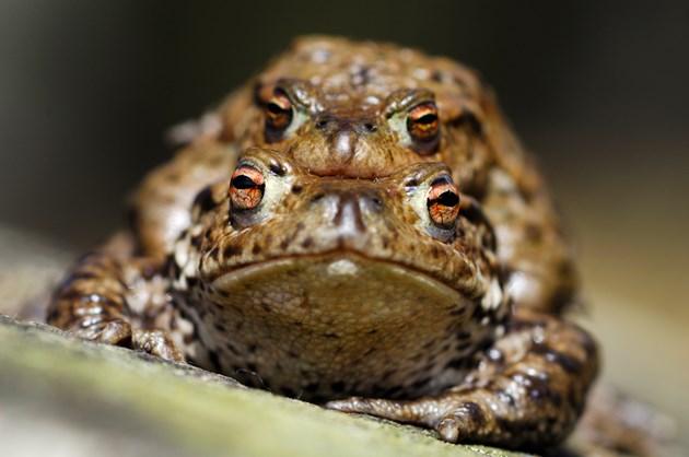 Toads © Lorne Gill SNH