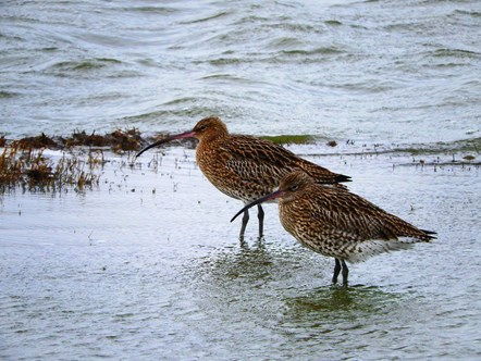Curlew-2