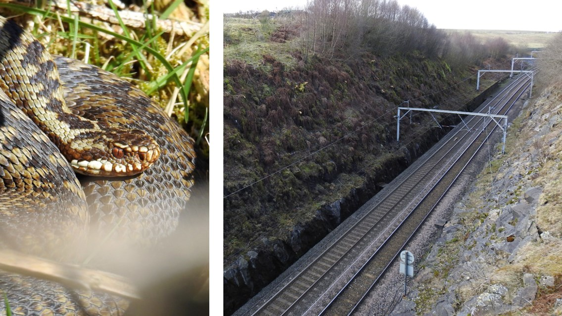 Snakes on a plain: track workers protect reptiles' railway residence: Adder and Shap Cutting compositie