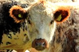 Next phase of BVD eradication programme: Agriculture-farming-livestock-cow